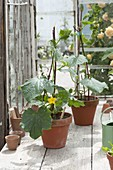 Preferred young climbing zucchini plant in the greenhouse
