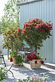 Blossoming callistemon in wooden buckets on terrace