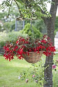 Begonia Boliviensis 'Sparkler Red' in hanging basket