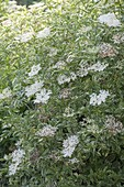 Sambucus nigra Albovariegata (white-colored elderberry)