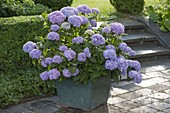 Hydrangea 'Endless Summer' (hydrangea) in green bucket