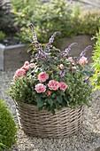 Korb mit Rosa chinensis (China-Rose, Zwergrose), Thymian (Thymus vulgaris