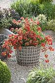 Nemesia Sunsatia plus 'Clementine' in pot inside basket
