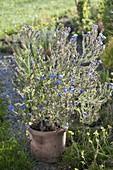 Anchusa azurea 'Loddon Royalist' (anchusa)