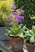 Primula bullesiana, flowering June to August, partial shade