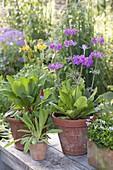 Primula vialii, flowering period June-July, Primula bullesian