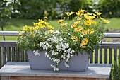 Gray wooden box planted with Osteospermum 'Mango' (cape baskets)