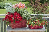 Red wicker baskets planted with Dahlia, Petunia 'Deep Red'