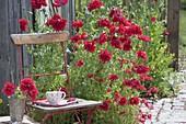 Chair next to Papaver somniferum 'Red Pom Pom' (opium poppy)