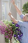 Hanging flower basket with Petunia 'Sanguna Radiant Blue', Diascia