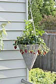 Hanging flower basket with strawberry (fragaria)