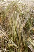 Gerste (Hordeum vulgare) im Getreidefeld