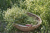 Freshly picked camomile in basket at the meadow edge