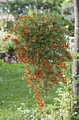 Hanging basket with lotus maculatus flower hanging on tree