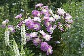 Paeonia lactiflora 'Bowl Of Beauty' (Precious Peony)
