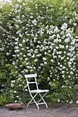Seating next to fragrant Rosa multiflora, birdbath
