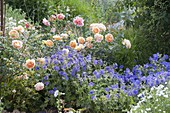 Pink 'Lady Of Shalott' by David Austin, often flowering