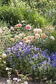 Rose 'Lady of Shalott' by David Austin, often flowering