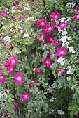 Rosa gallica 'Scarlet Glow' and R. multiflora grow together