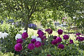 Flower bed with Paeonia lactiflora under the apple tree