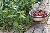 Strawberry harvest in organic garden
