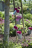 Paeonia (peony) in watering cans hung on old wooden ladder