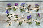 Tableau with cranesbill varieties and species