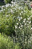 White bed of lemon balm, Achillea ptarmica 'Gypsy White'