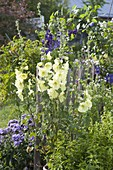 Alcea rugosa (Yellow Hollyhock, Russian Hollyhock)