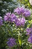 Monarda fistulosa var. Menthifolia 'Pummel' (bergamot)