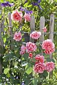 Rosa 'Schloss Bad Homburg' at the fence, often flowering