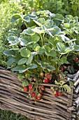 Strawberry 'sonata' in bed with hazel grove border