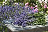 Lavender harvest in the farm garden