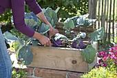 Woman harvesting blue kohlrabi 'delikatess'
