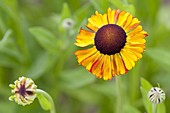 Helenium hybrid 'Waltraut' (Sun Bride)