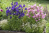 Campanula medium (bellflower) and Silene (rattleweed)