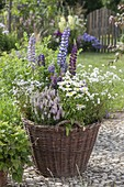 Wicker basket planted with perennial lupinus, Veronica spicata