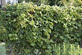 Privacy screen-fence lined with Aristolochia and Parthenocissus