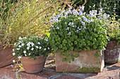 Viola hederacea (Australian Violet) and Arenaria montana