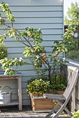 Apricot tree, in wooden box, planted with strawberries