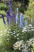 Delphinium Magic Fountain 'Dark Blue', 'Sky Blue'
