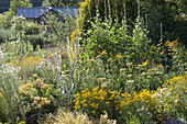 Yellow bed with verbascum (mullein), Achillea (yarrow)