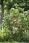 Red currant 'Rolan' (Ribes rubrum) at the fence