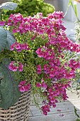 Nemesia Sunsatia 'Cassis' in a basket with red kohlrabi
