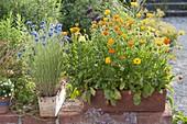 Calendula officinalis (marigold) in terracotta box