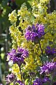 Monarda 'Blue Stocking' (bergamot) in front of Verbascum olympicum