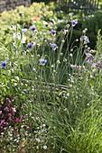Catananche caerulea (Blue rattle flower)
