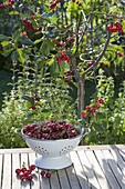 Sour cherry in the flower bed, colander with freshly picked fruits