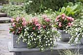 Grauer Kasten und Topf mit Begonia semperflorens (Eisbegonien), Bacopa