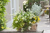 Wooden box planted with white-yellow Scaevola 'Early Compact White'